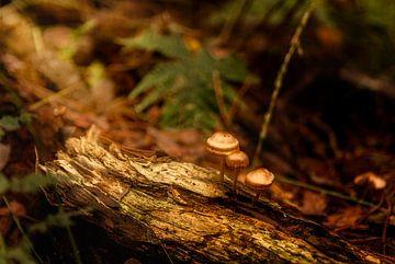 Magische bronze paddestoelen in de bossen van Enrique De Corral