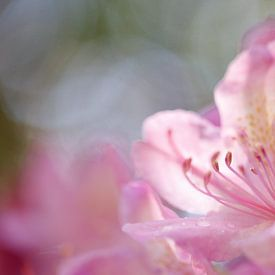 Fleur rose de rhododendron sur Karla Leeftink