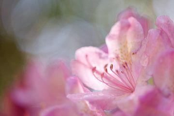 Roze bloem van rododendron van Karla Leeftink