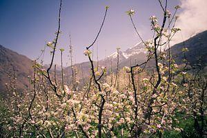 Bloeiende appelboom van