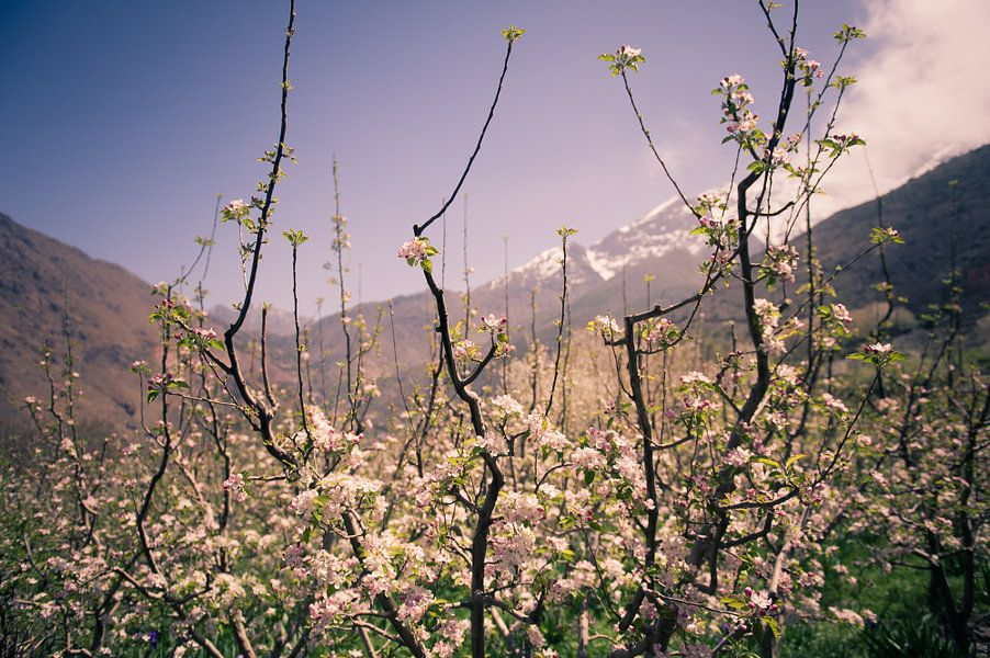 Bloeiende appelboom van Sander van Leeuwen