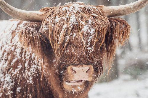 Portret van een Schotse Highlander koe in de sneeuw