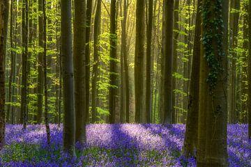 Forêt de jacinthe