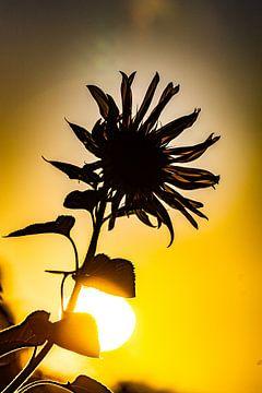 Sunflower, zonnebloem, zomer, summer
