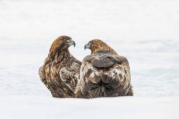 Steenarend, Aquila chrysaetos. Roofvogel van Gert Hilbink