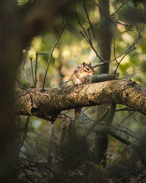 Eichhörnchen im Morgenlicht von Kevin IJpelaar