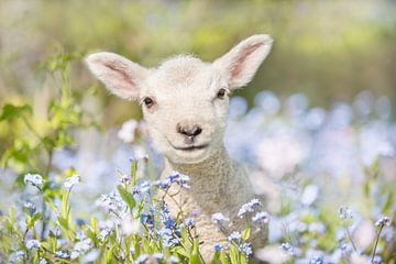 Lente schapenlammetje  van Leora Kalisvaart