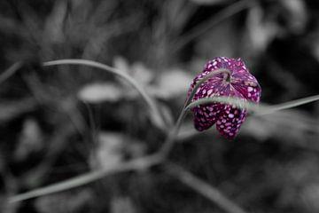 Schachtbrettblume im Vorgarten - Schwarz-Lila-Weiß von Kerstin Marosi