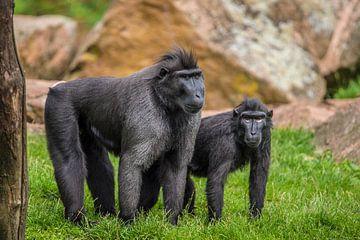 Twee apen in het gras van