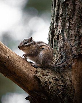 Siberische eekhoorn zoekt naar eten van Bas Marijnissen
