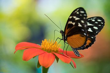 Passiebloemvlinder van Ingrid Ronde