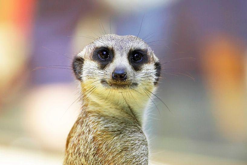Le suricate regarde la caméra sur Frank Herrmann