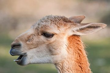 Lama : Tierpark Blijdorp von Loek Lobel