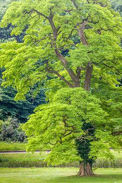 Robinia in het park van Castle Combe Manor House, Engeland van Christian Müringer