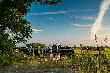 Koeien op de uitkijk in de Krimpenerwaard van René Groenendijk