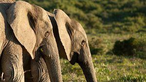 Olifanten in de avondzon, Zuid Afrika