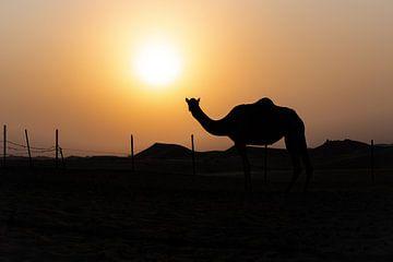 Dromedar bei Sonnenuntergang von Eerensfotografie Renate Eerens