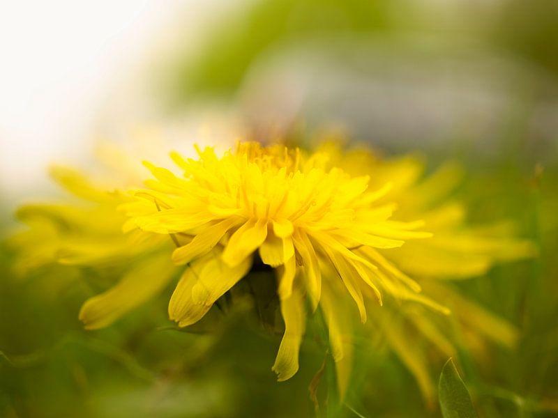 Yellow flower van Willy Backhaus