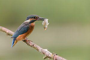 IJsvogel met net gevangen visje