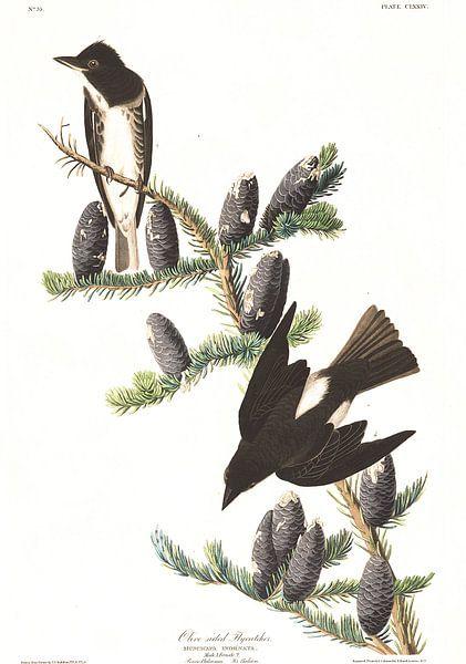 Sparrenpiewie van Birds of America