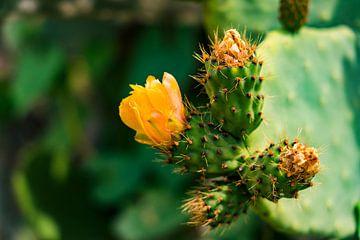 Oranje bloemen op een cactus in Peru van