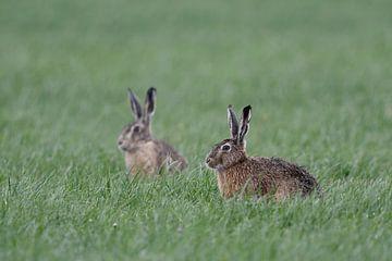 Feldhasen ( Lepus europaeus ), zwei Hasen auf einem Feld im Frühjahr, wildlife, Europa. von wunderbare Erde