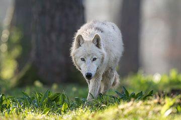 Arctic wolf van Etienne BRUNELLE