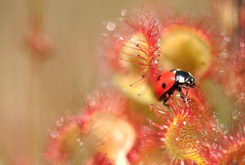Lieveheersbeestje loopt over de zonnedauw van