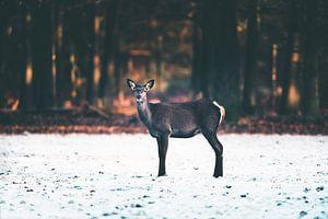 Edelhert hinde in de sneeuw.