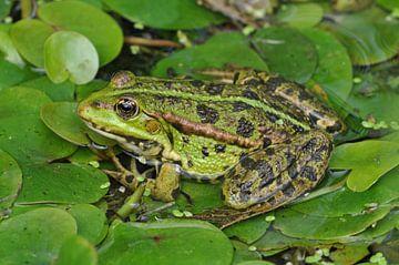 Groene kikker tussen groene waterplanten van