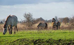 Konik paarden bij de Blaauwe kamer Wageningen 01