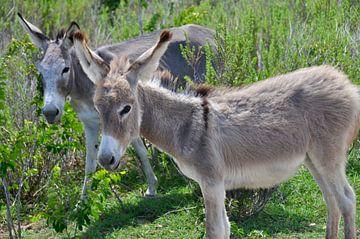 Wilde ezels op Bonaire van Myrthe Visser-Wind