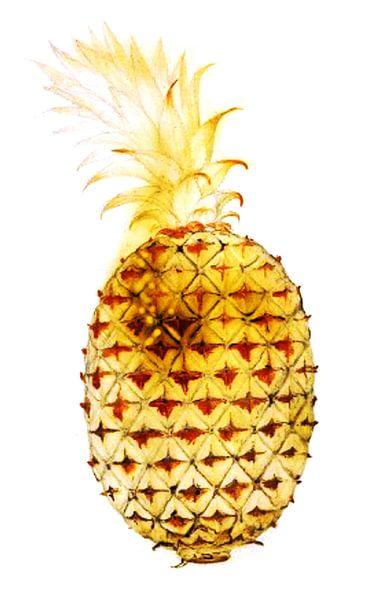Goldene Ananas, John White von Studio POPPY