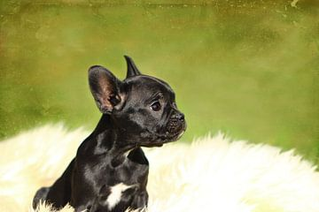 Französische Bulldogge 2 van Heike Hultsch