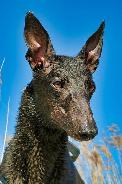 Natte Greyhound van Patrick vdf. van der Heijden