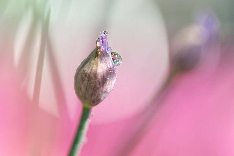 Bijna bloeiende bieslook.. van Miranda van Hulst