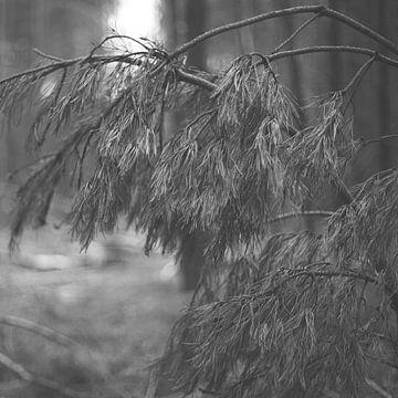 Fallen Spruce von Studio W&W