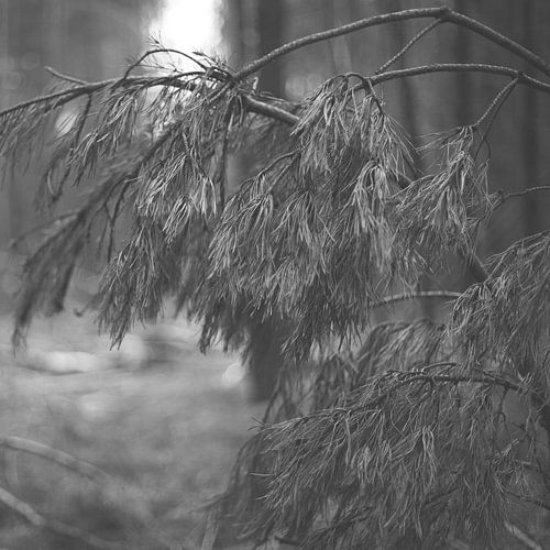 Gevallen naaldboom van