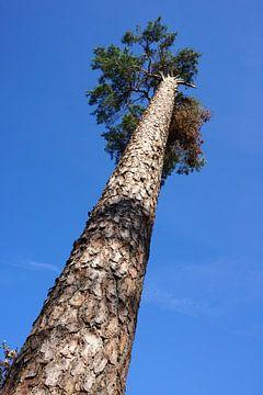 Omhoogkijkend langs een dennenboom van Folkert Jan Wijnstra