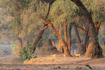 Impalas im atmosphärischen Wald von Anja Brouwer Fotografie