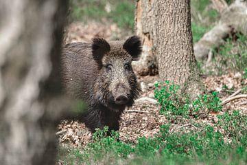 Wildschwein von Kelly Kutterik Photography