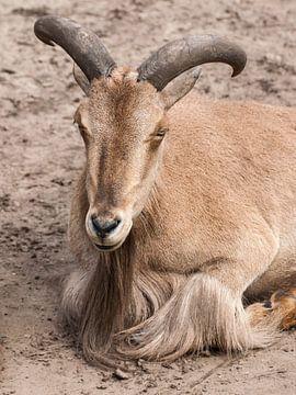 Mouton mâle : Parc Animalier d'Amersfoort sur Loek Lobel