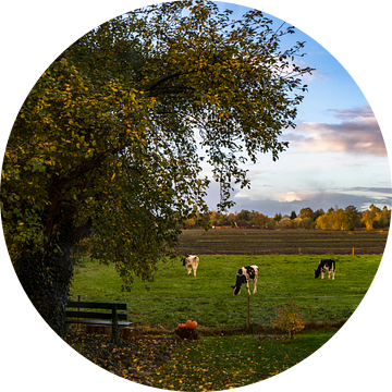 Koeien onder de grote appelboom in Drenthe. Koe/stier. van Hessel de Jong