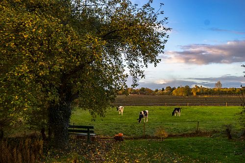 Koeien onder de grote appelboom in Drenthe van Hessel de Jong