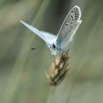 zomerblauw sur jowan iven