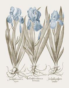 Basilius Besler-Großbärtige Garten-Schwertlilien Fahnenschwertlilien
