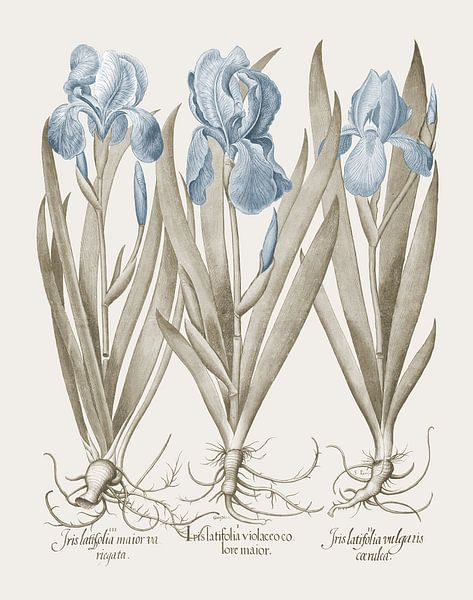 Basilius Besler-Großbärtige Garten-Schwertlilien Fahnenschwertlilien von finemasterpiece