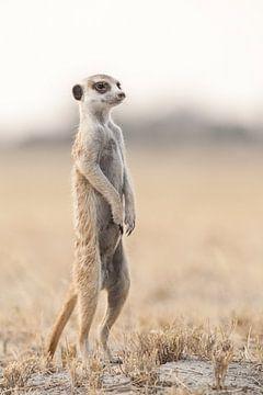 Meerkat or suricate in Botswana sur Simone Janssen