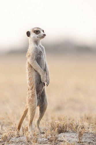 Stokstaartje op de uitkijk in Botswana