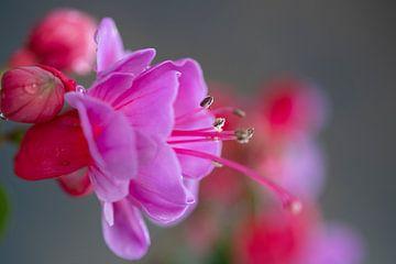 Rosa rot Garten fuchsie von Gaby Hendriksz